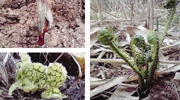 安心安全な天然物の山菜